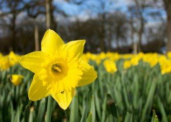 daffodils-field.jpg.638x0_q80_crop-smart